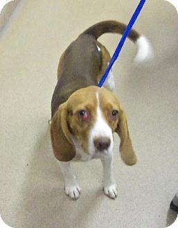 Pin By Mackenzie Liska On Beagles And Bassett Hounds Beagle
