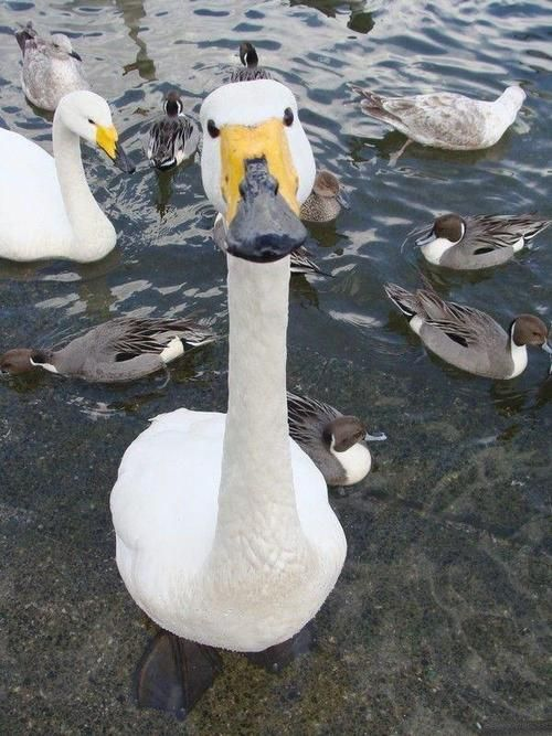 the camera's lense makes the goose's head seem enlarged  : 0)
