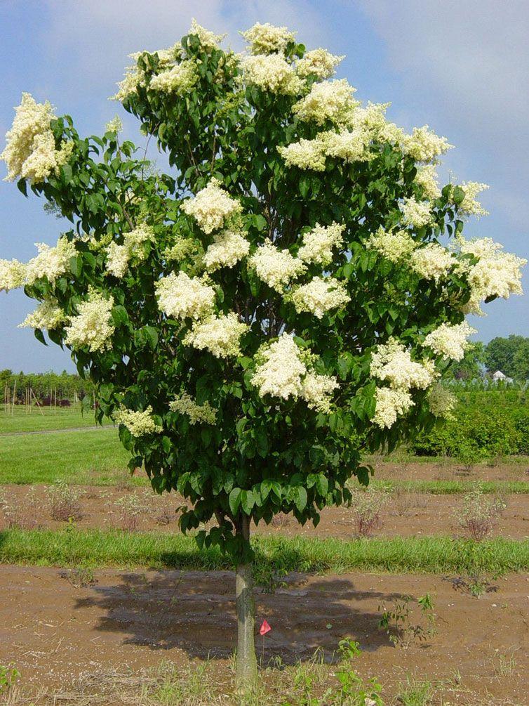 Ivory Silk Japanese Tree Lilac Syringa Reticulata Lilac Tree Japanese Tree Japanese Lilac Tree