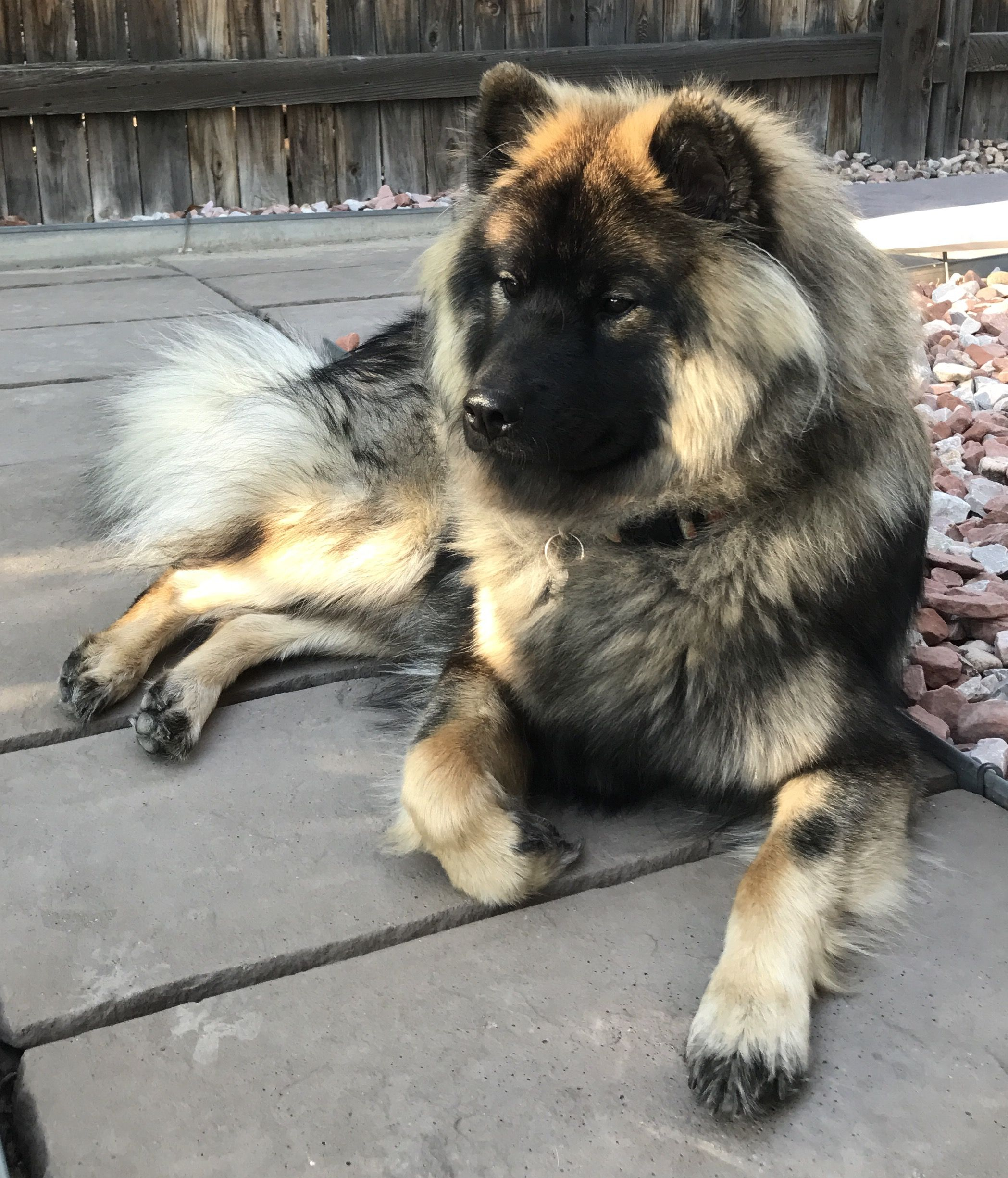 Female Agouti Keeshond Dog Pretty Dogs Cute Dogs And Puppies