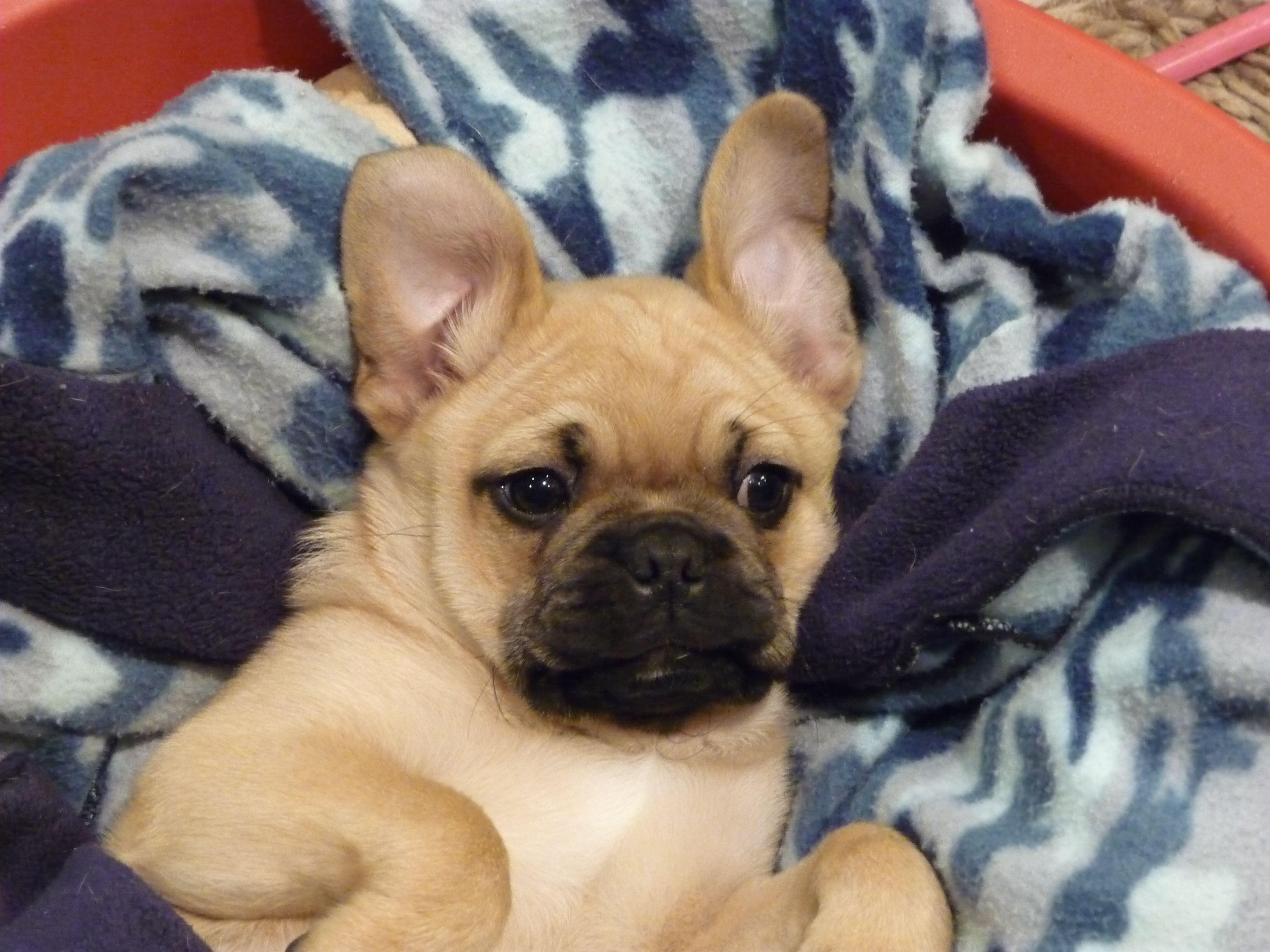 Too Cute Pug Jug Puppy Puppies Pugs Fur Babies