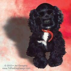 Tuxedo Crocker Spaniel Puppy Adorable Just Like Our Little