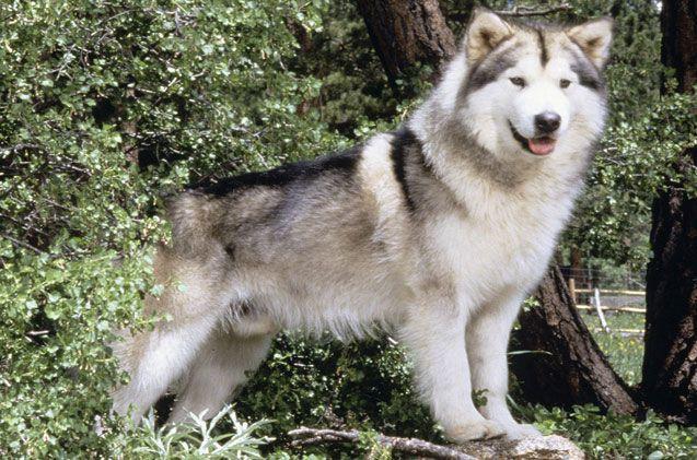 Alaskan Malamute Malamute Dog Alaskan Malamute Alaskan Husky