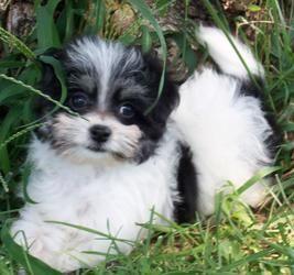 Oreo Is An Adoptable Maltese Dog In Oak Grove Mo Oreo Poochie