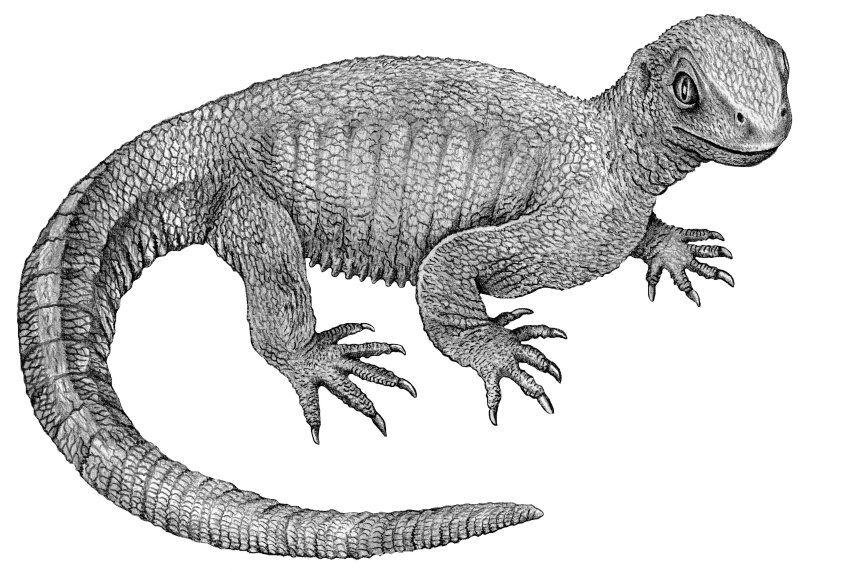 Zeichnung des Tiers: Die Opaschildkröte lebte in und um einen kleinen...
