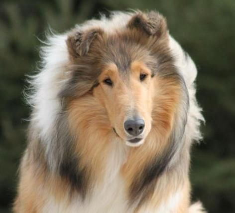 Our Collies Brightmore Collies We Are A Rough Collie Breeder