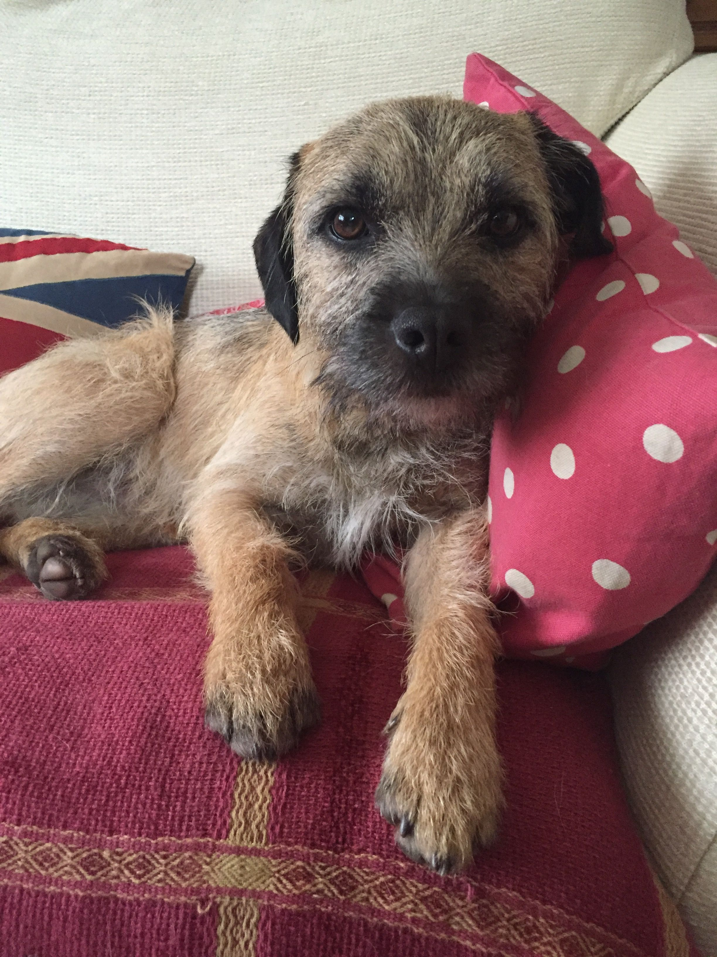 Alfie The Border Terrier Reclining On The Sofa Border Terrier