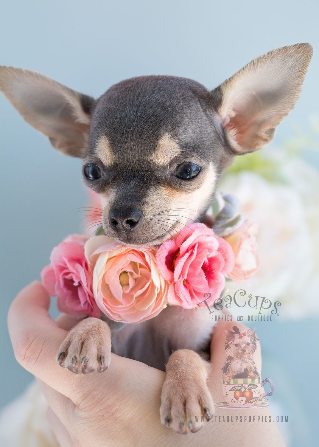 Puppy For Sale 280 Teacup Chihuahua Puppy Teacup