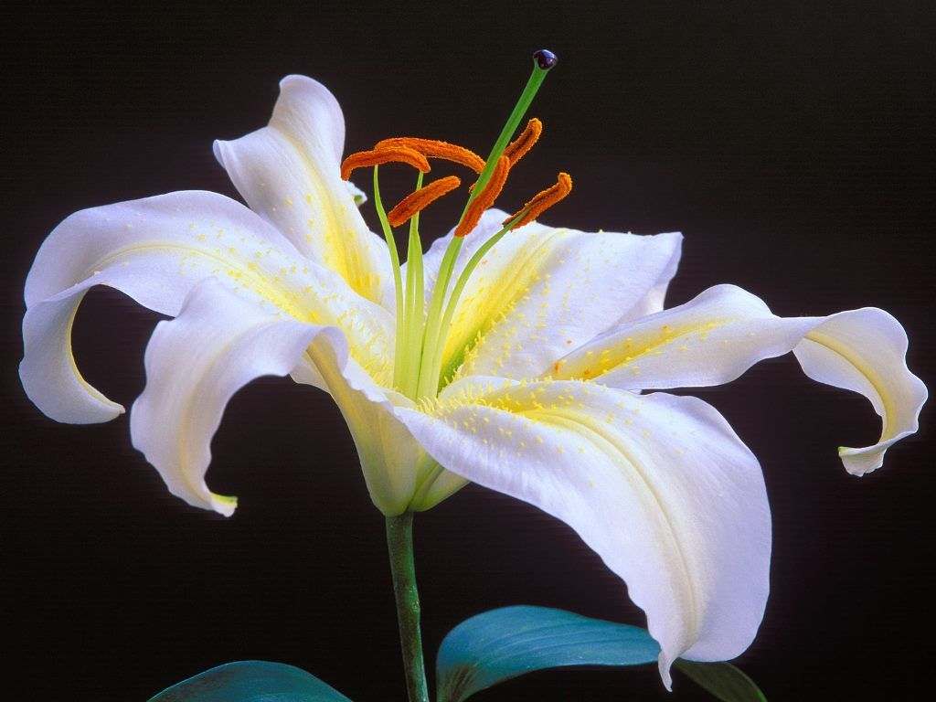 Lilyflowerwallpaper Free Flowers Wallpapers Pictures Of