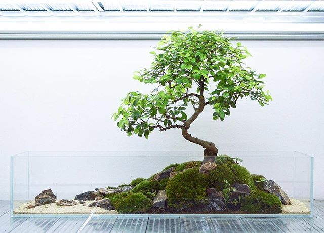 We like contast #bonsai #terrarium #moss #sageretia #sand #75cm
