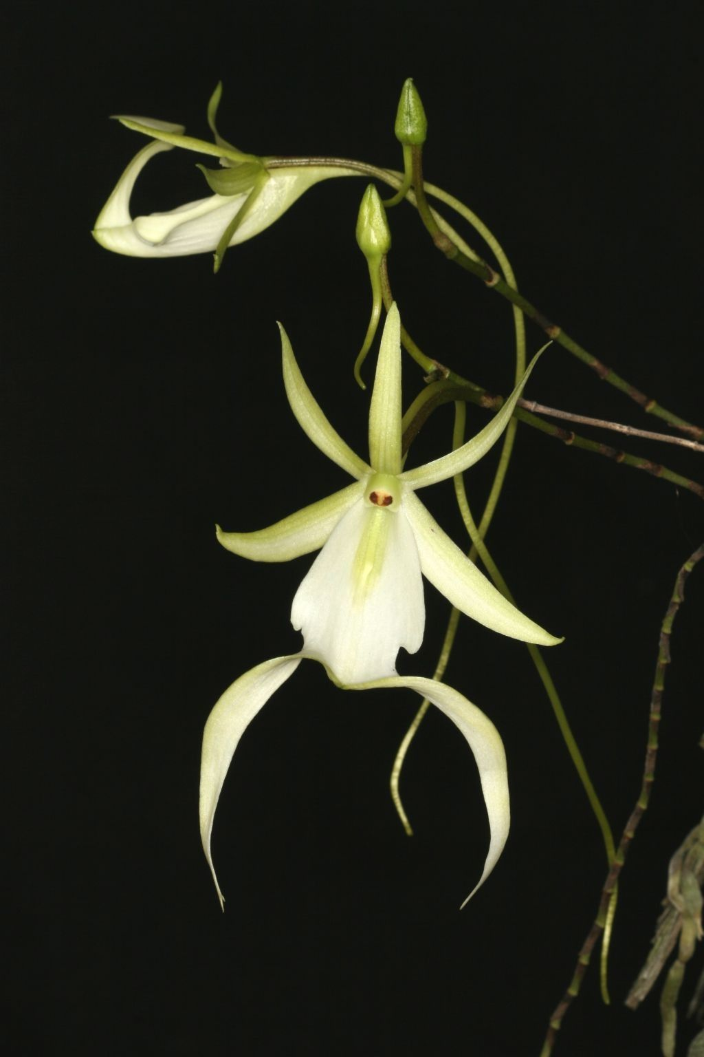 The Ghost Orchid. Dendrophylax Lindenii.