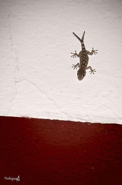 Salamanquesa De Cola Bifida Reptiles Animals Fauna