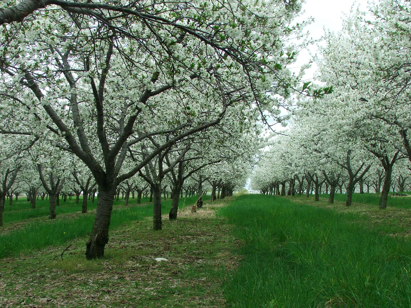 The Cherry Blossoms Appear And So Does The National Cherry Festival Traverse City Michigan Michigan Travel Traverse City