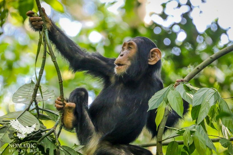 The Carnivorous Chimps of Kibale | Nature travel, Wild ...