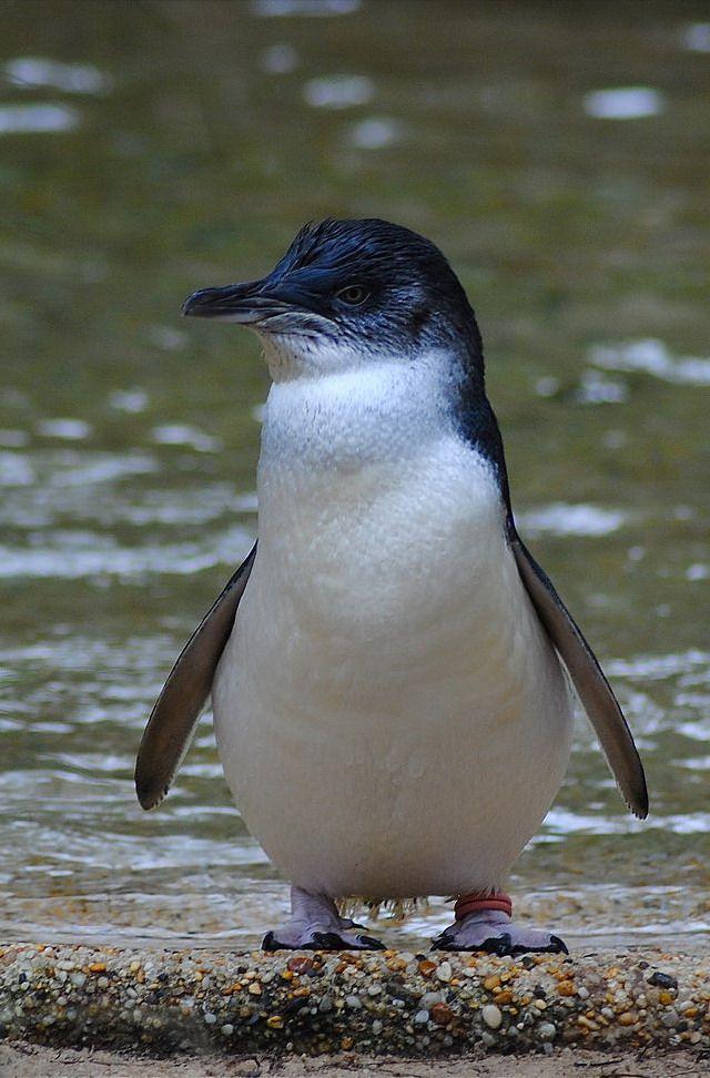 Resultado de imagen de pinguinos azules oamaru