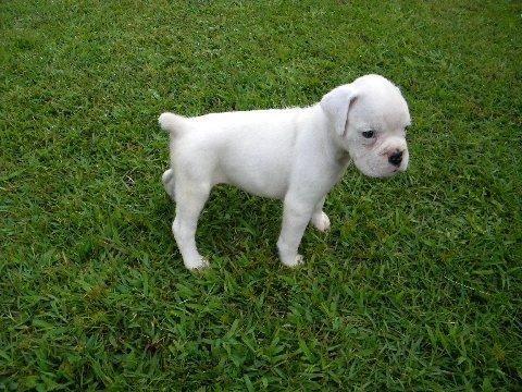 White boxer puppy at 6 weeks!   Boxer puppies, White boxer ...