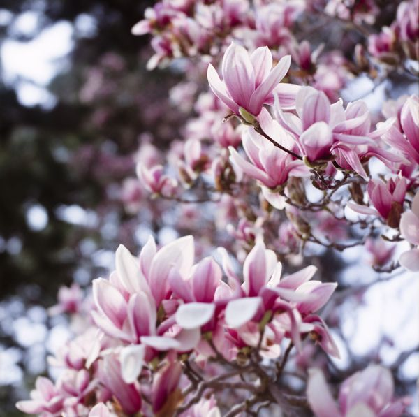 Alle Grossen Magnolia Liliflora Flickr Fotosharing Blooming Trees Love Flowers Beautiful Blooms