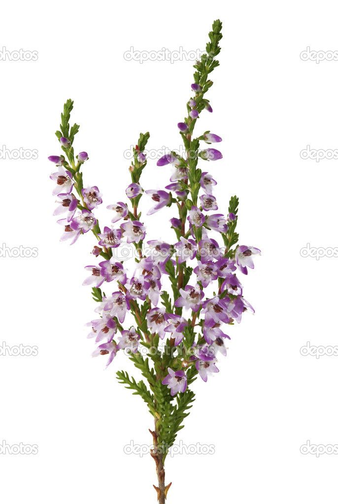 Purple Heather Branch Heather Flower Scottish Flowers Scottish Tattoos