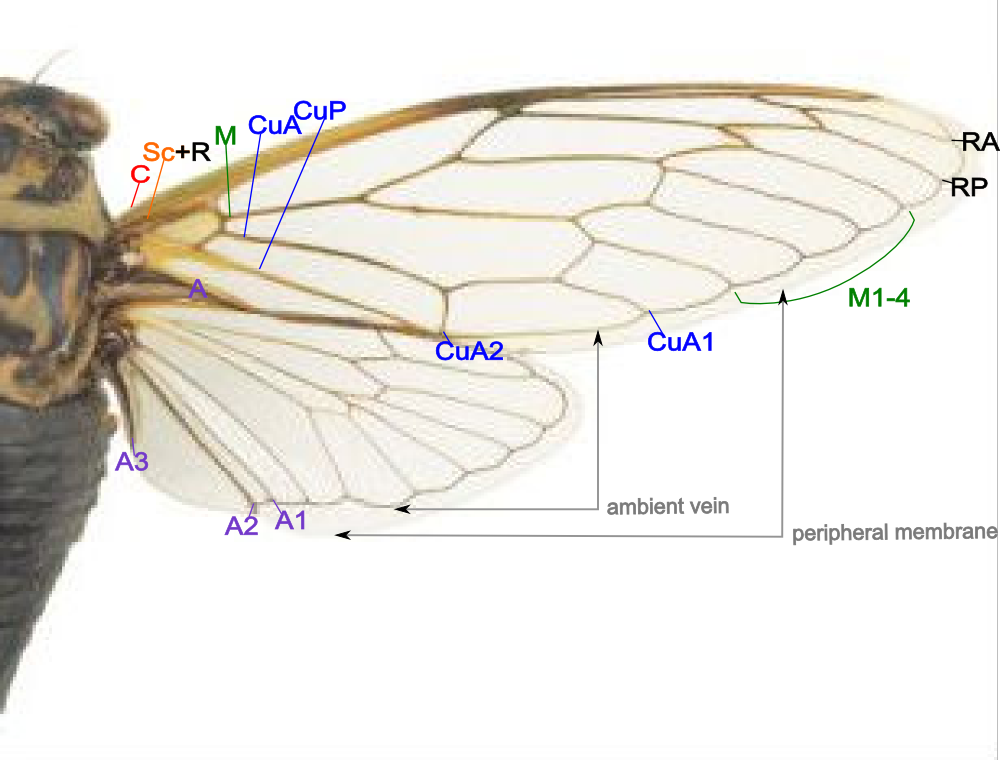 butterfly wings anatomy - Buscar con Google | Butterfly | Pinterest ...