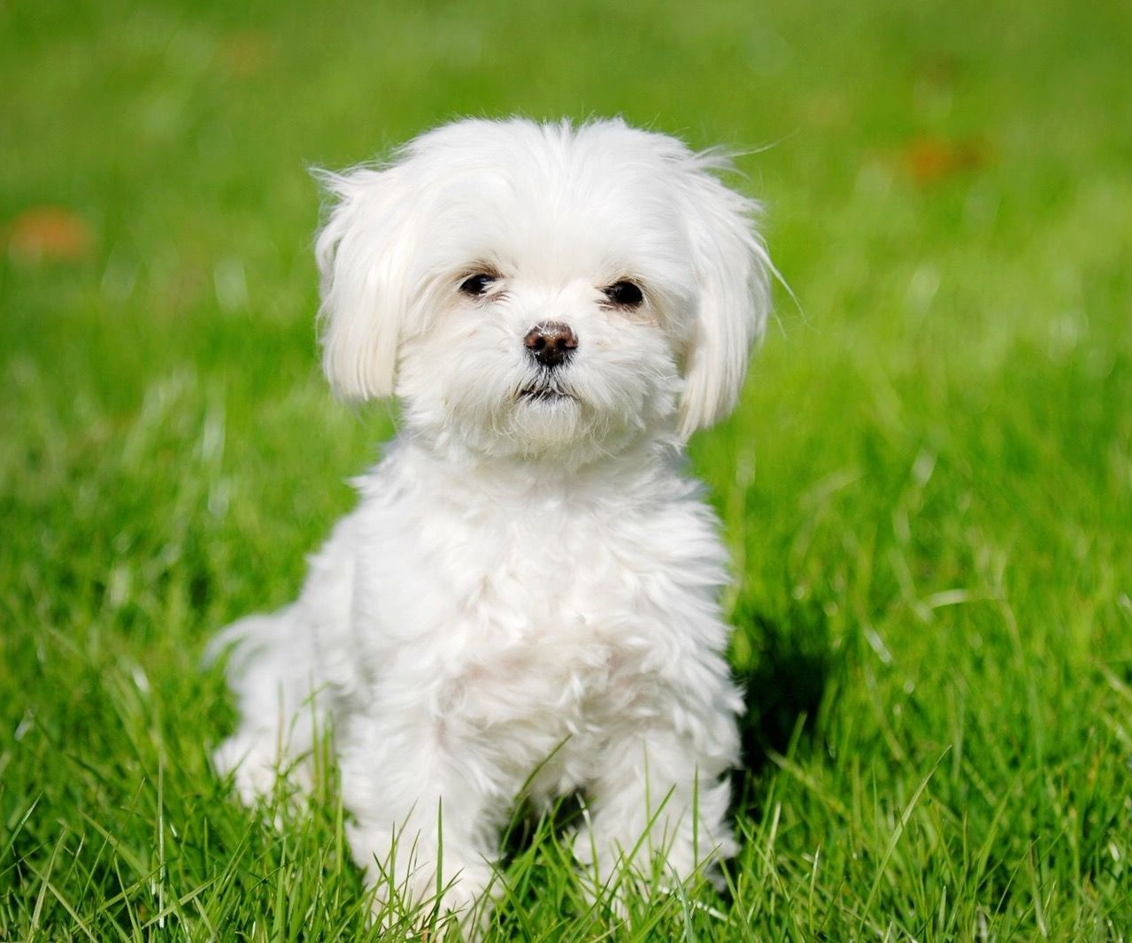 Pin by Sharon Snyder on Adorable dog Hypoallergenic dog