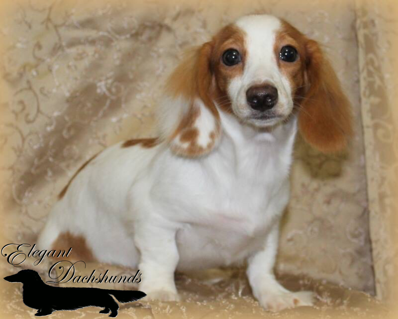 Red Dapple Piebald Emerald Coast Elegant Dachshunds Weiner Dog Dachshund Dogs