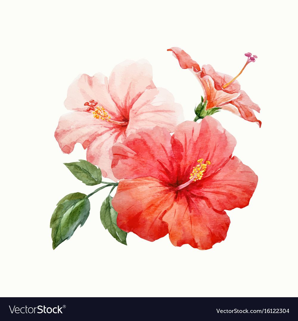 Beautiful Vector Watercolor Hand Drawn Tropical Hibiscus Flower Illustration On Transparent Hibiscus Flower Drawing Flower Illustration Hibiscus Flower Tattoos
