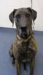 Utah Mable S 10a Is A Housetrained Great Dane Mastiff Mix Dog