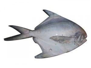 Pomfret Fish Pomfret Fish Pomfret Fish
