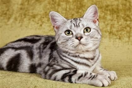 Top 5 Cat Breeds For Kids.