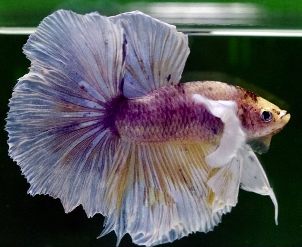 Male dumbo ears fancy halfmoon betta top quality thai imp for Big betta fish