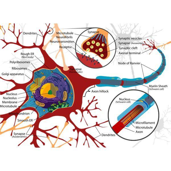 Brain Lobes and Functions Quiz | Diagram Guide Of Brain | SLP neuro