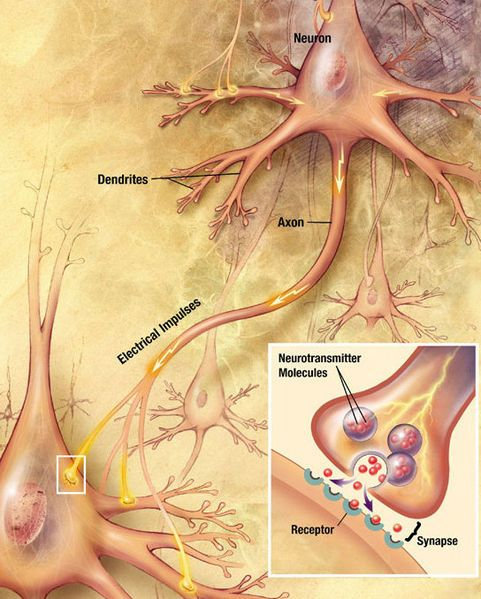 function of neurons