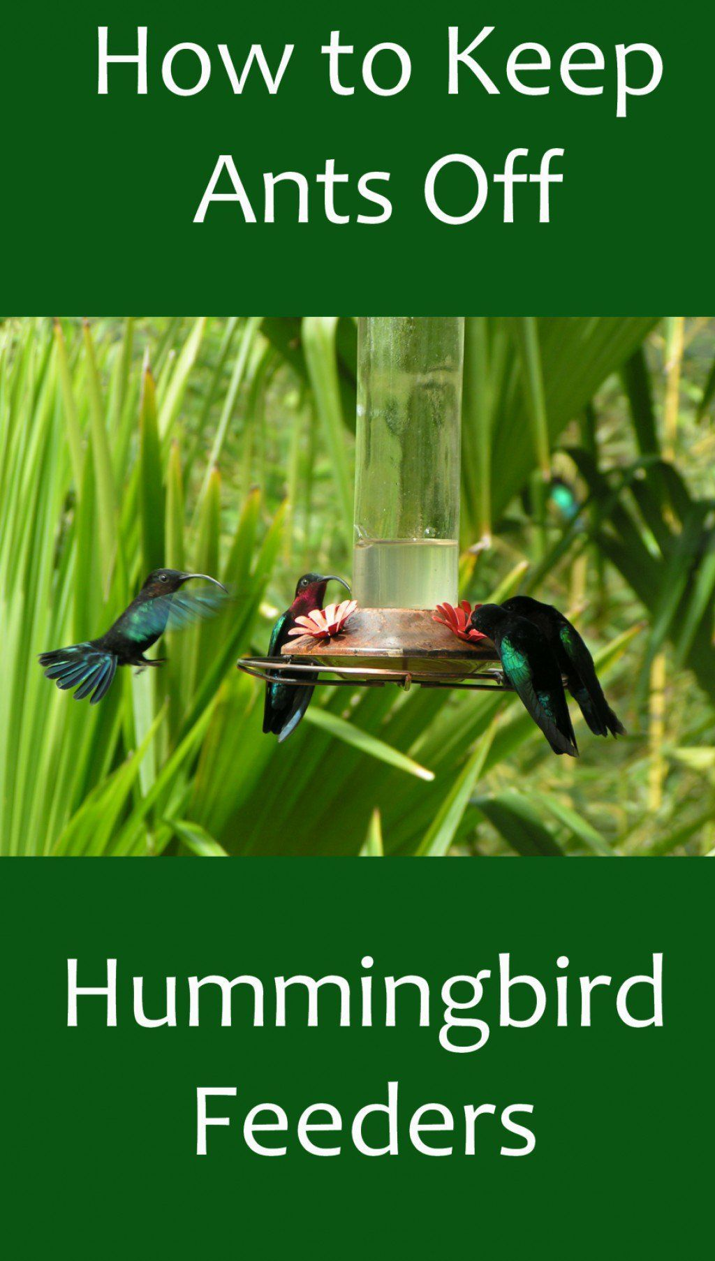How to keep ants away from hummingbird feeders humming