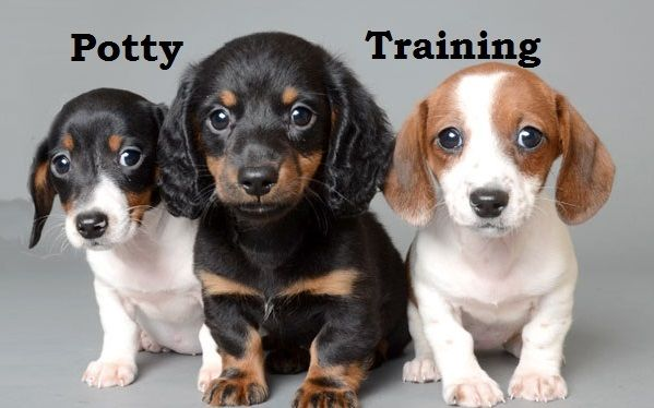 Chiweenie Puppies. How To Potty Train A Chiweenie Puppy