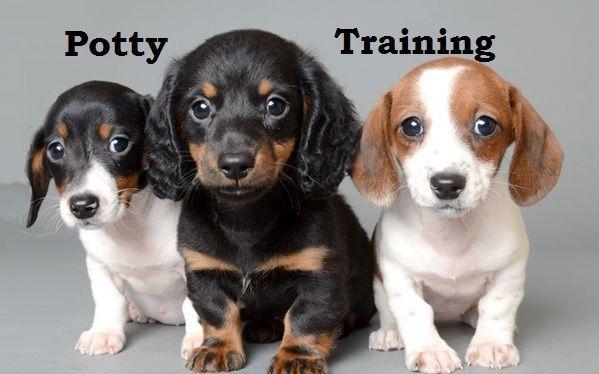 Chiweenie Puppies How To Potty Train A Chiweenie Puppy Chiweenie