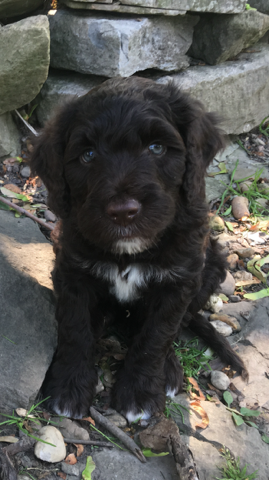 Portuguese Water Dog Puppies For Sale In Pa Portuguese Water Dog