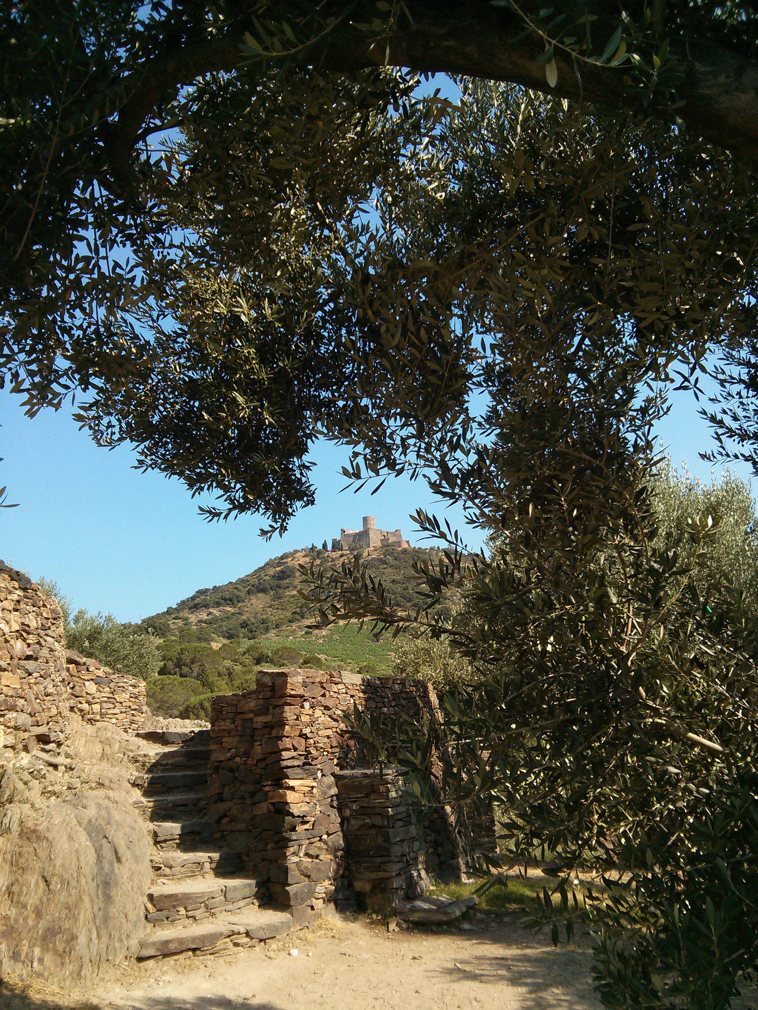 Le Chateau De Collioure Encadre Par Un Olivier