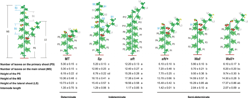 Semi Determinate Growth Habit Adjusts The Vegetative To Reproductive Balance And Increases Productivity And Water U Increase Productivity Cereal Variety Habits