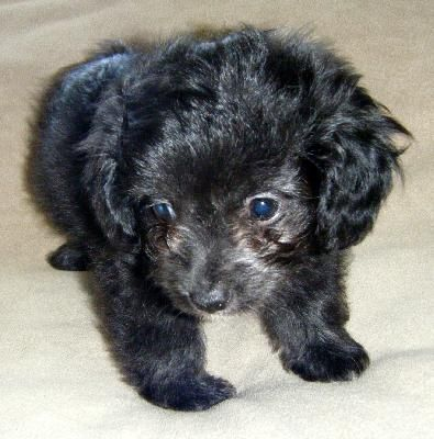 Chi Poo Chihuahua Poodle Mix Info Puppies Temperament Picture