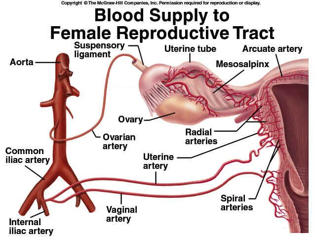 Blood Supply If Female Reproductive Tract Repro System Anatomy