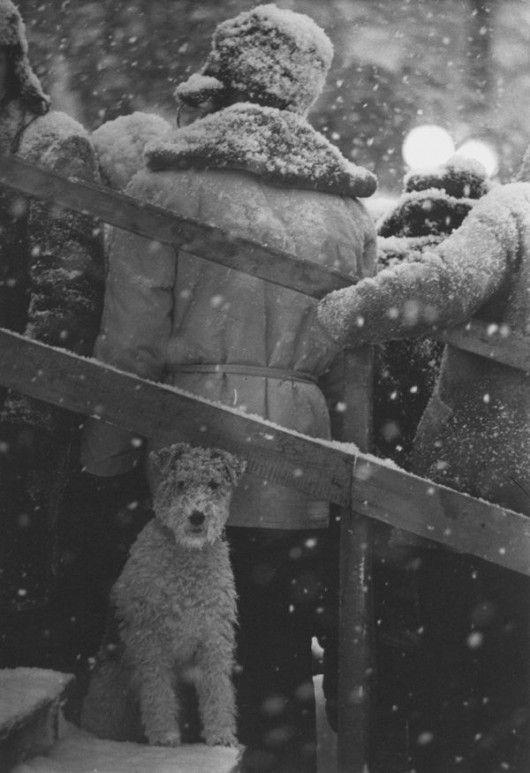 a snowy wire fox terrier