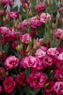 lisianthus mariachi carmine love of lisianthus pinterest flowers gardens and plants. Black Bedroom Furniture Sets. Home Design Ideas