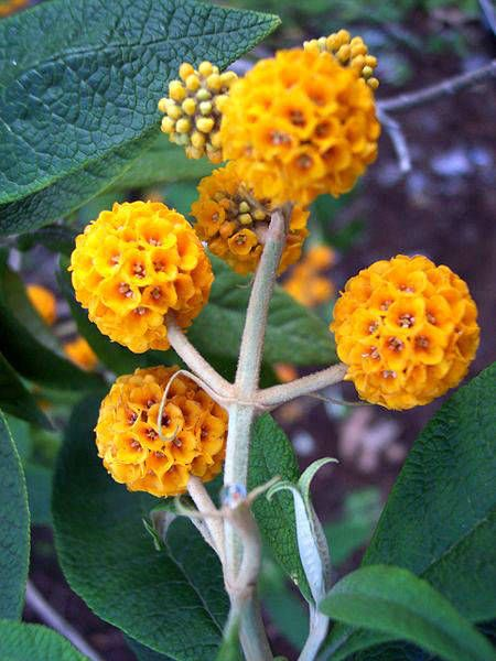 10 Orange Ball Tree Golden Butterfly Bush Buddleja Globosa Etsy Plants Butterfly Bush Shrubs