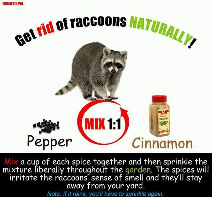 Racoons Getting Rid Of Raccoons Pest Control Raccoon Repellent