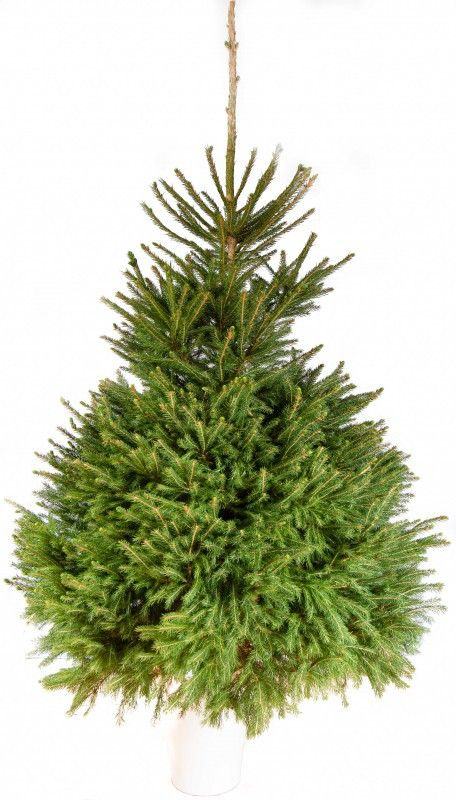 Norway Spruce 5 6ft 48 6 7ft 58 The Norway Spruce Picea