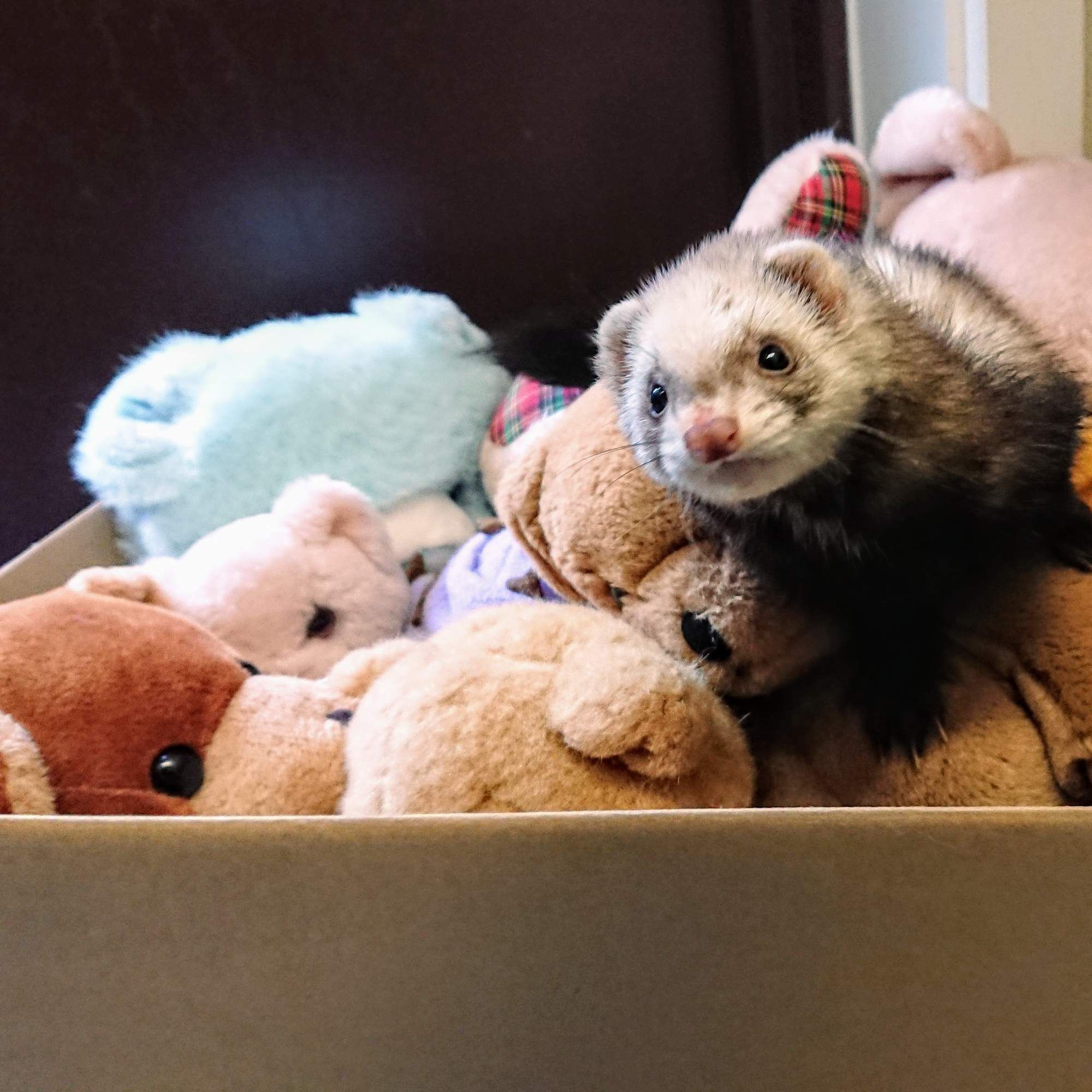 Woman Goes To Throw Away Bag Of Old Teddy Bears And Finds A Ferret Inside Old Teddy Bears Cute Ferrets Ferret