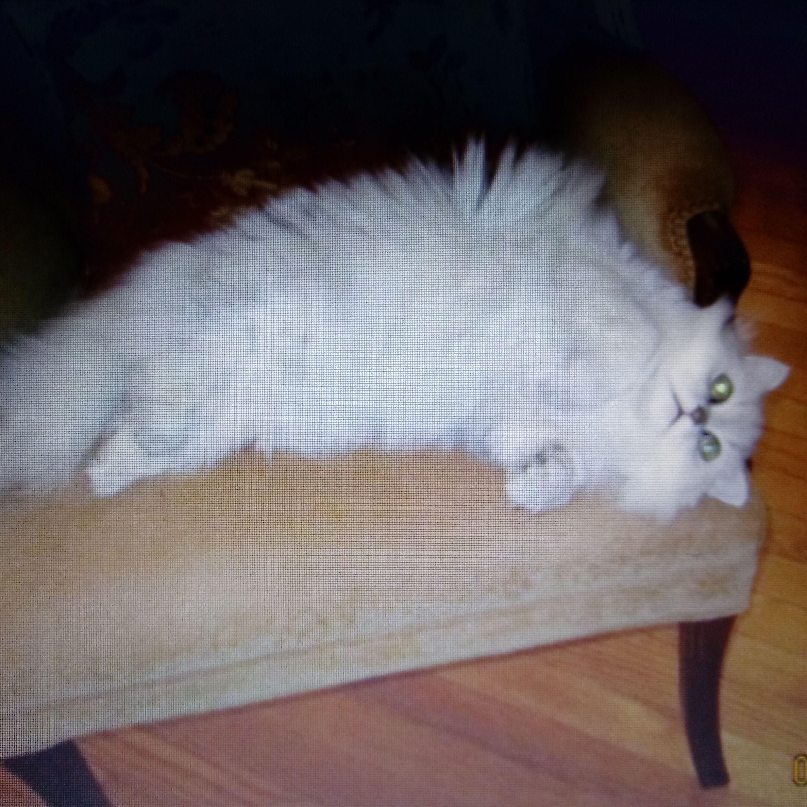 Silver Shade Persian Cute Cats Persian Cat Cats
