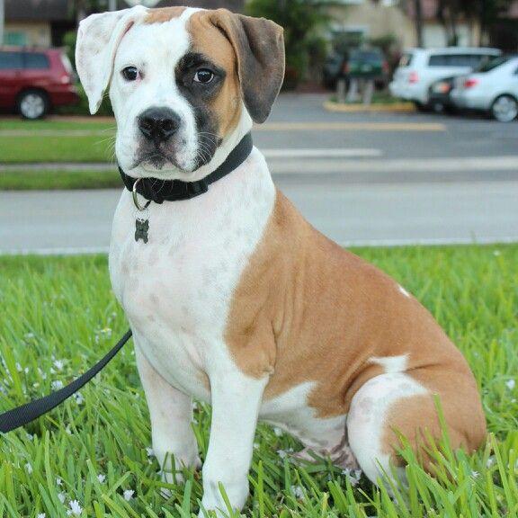 Max American Bulldog Puppy Bulldogge