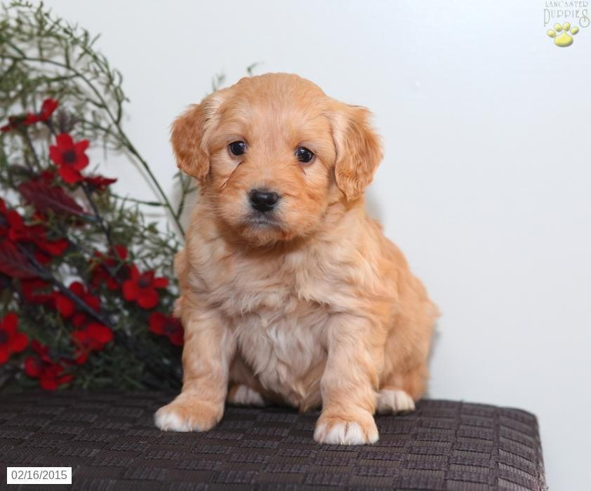 Mini Goldendoodle Puppy for Sale in Pennsylvania Puppies