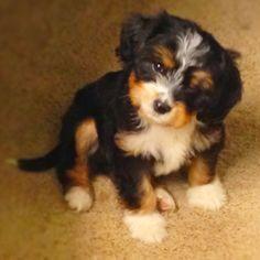 Bildresultat For Cavapoo Dark Brown Cavalier King Charles Spaniel Cavapoo King Charles Cavalier Spaniel Puppy